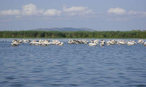 Zdjecie RUMUNIA / Dobrudża / Delta Dunaju / Pelikany w Delcie