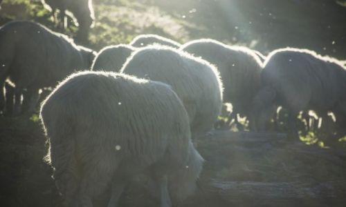 Zdj�cie RUMUNIA / G�ry Marmaroskie / Maramuresz / Owce na hali Facaul