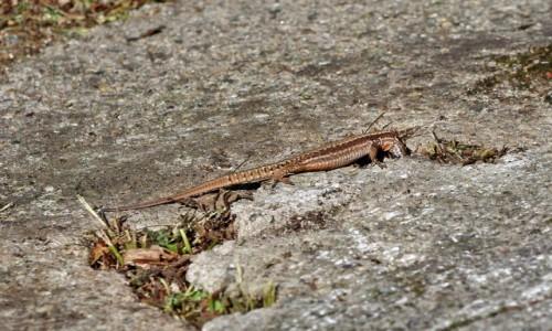 Zdjecie RUMUNIA / Góry Fogaraskie / nad rzeką Arges / Jaszczurki polują na mrówki