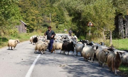RUMUNIA / Bukowina  / W drodze na Maramuresz / Sympatyczne utrudnienia  w ruchu ko�owym
