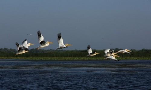 Zdjecie RUMUNIA / Delta Dunaju / - / Pelikany w Delcie Dunaju