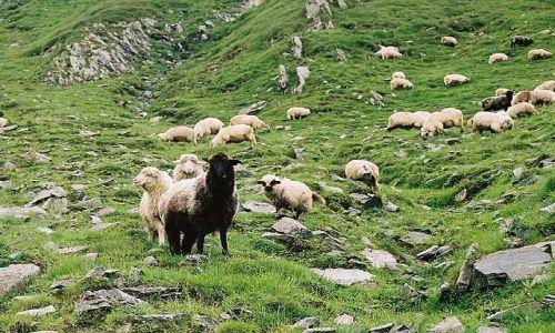 Zdjęcie RUMUNIA / Fagaras / Fagaras / mieszkańcy gór ;-)