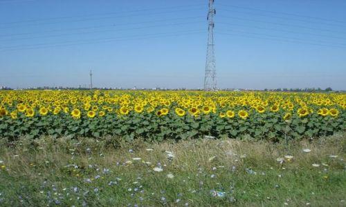 Zdjecie RUMUNIA / Rumunia / Rumunia / Pole słonecznikowe