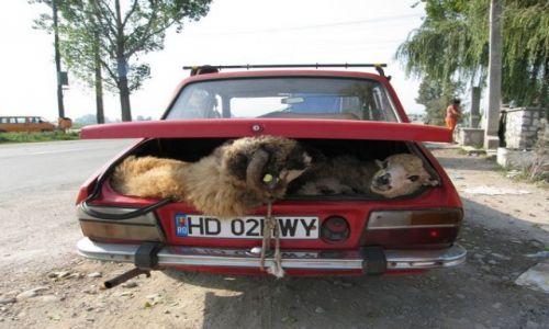 Zdjecie RUMUNIA / Rumunia / Rumunia / transport zwierząt