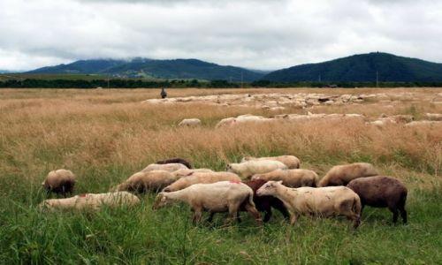 Zdjecie RUMUNIA / Transylwania / Valea mare / Owce