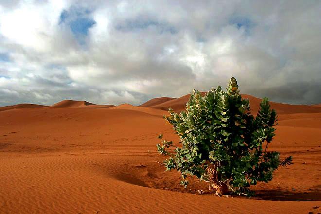 Zdjęcia: Sahara, Sahara, brukselka, SAHARA ZACHODNIA