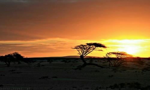 Zdjęcie SAHARA ZACHODNIA / Sahara / Sahara / Akacja