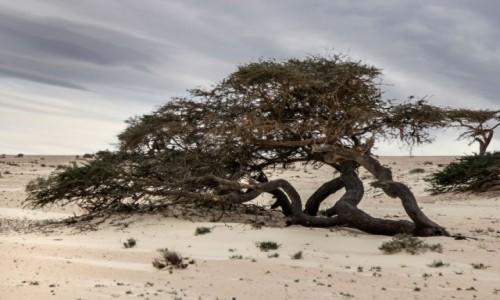 SAHARA ZACHODNIA / Al-Ujun-As-Sakija al-Hamra / w piaskach pustyni / Pustynna akacja