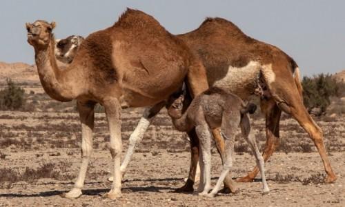 SAHARA ZACHODNIA / Ad-Dachla-Wadi az-Zahab / gdzieś w piaskach pustyni / Rodzinnie