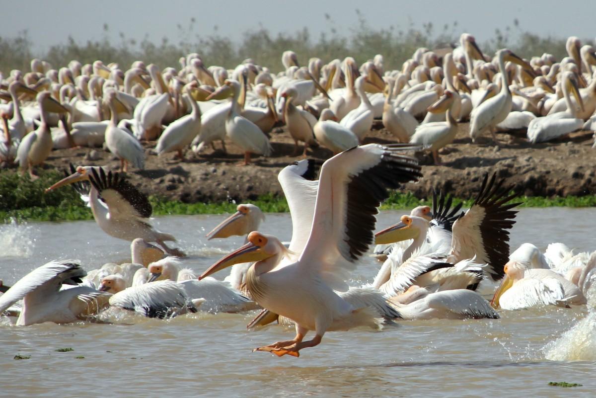 Zdjęcia: PN Djoudj, Północny Senegal, Lądowanie, SENEGAL