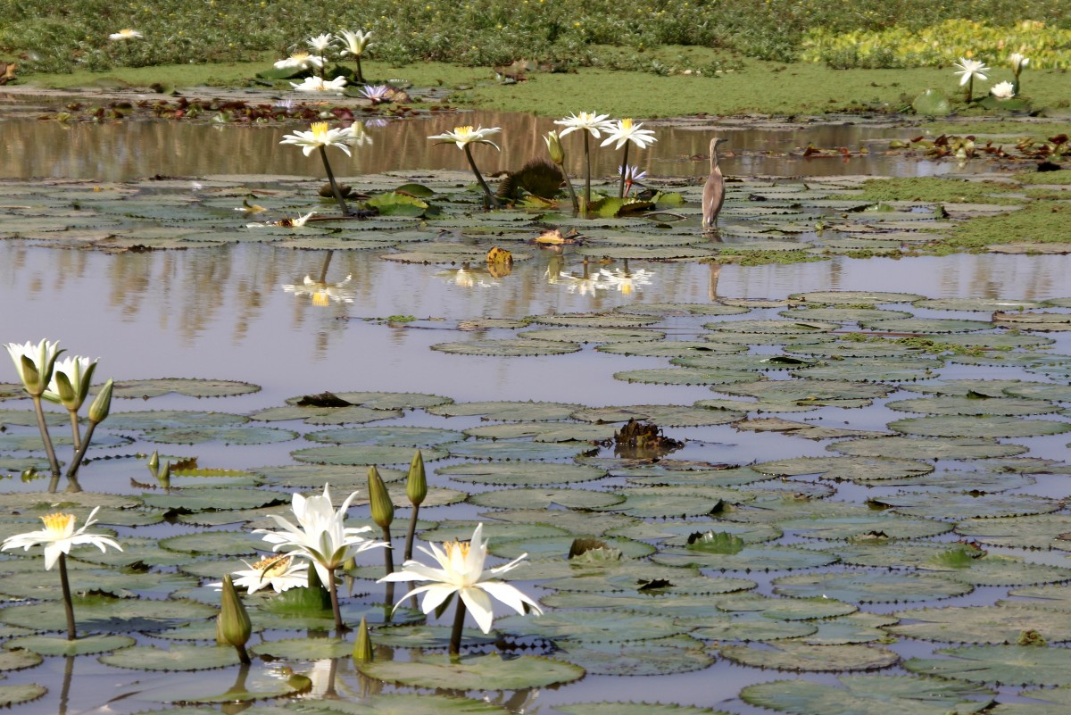 Zdjęcia: PN Djoudj, Północny Senegal, Wodne kwiaty, SENEGAL