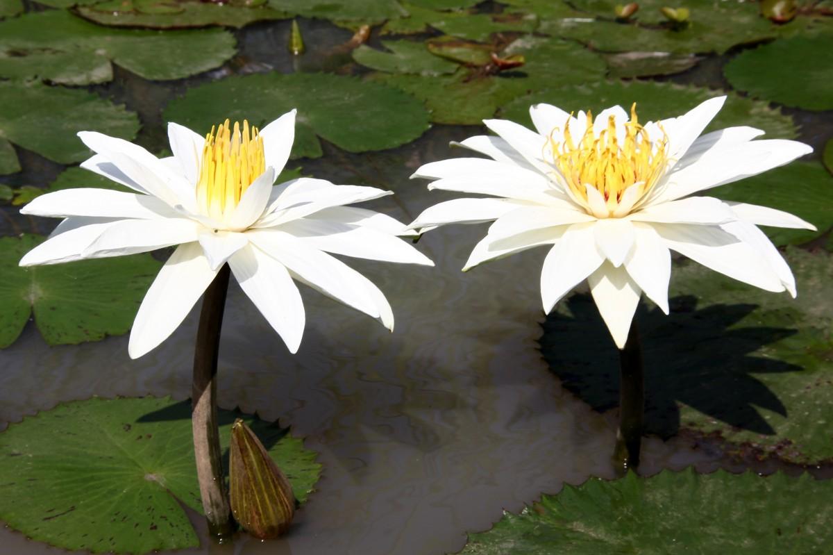 Zdjęcia: PN Djoudj, Północny Senegal, Wodne kwiaty 2, SENEGAL
