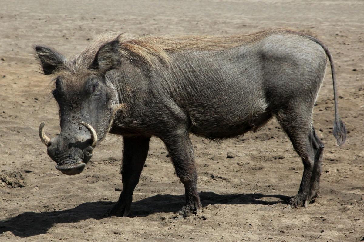 Zdjęcia: Rezerwat Bandia, Północny Senegal, Pumba, SENEGAL