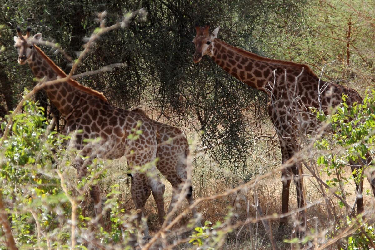 Zdjęcia: Rezerwat Bandia, Północny Senegal, Spojrzenia, SENEGAL