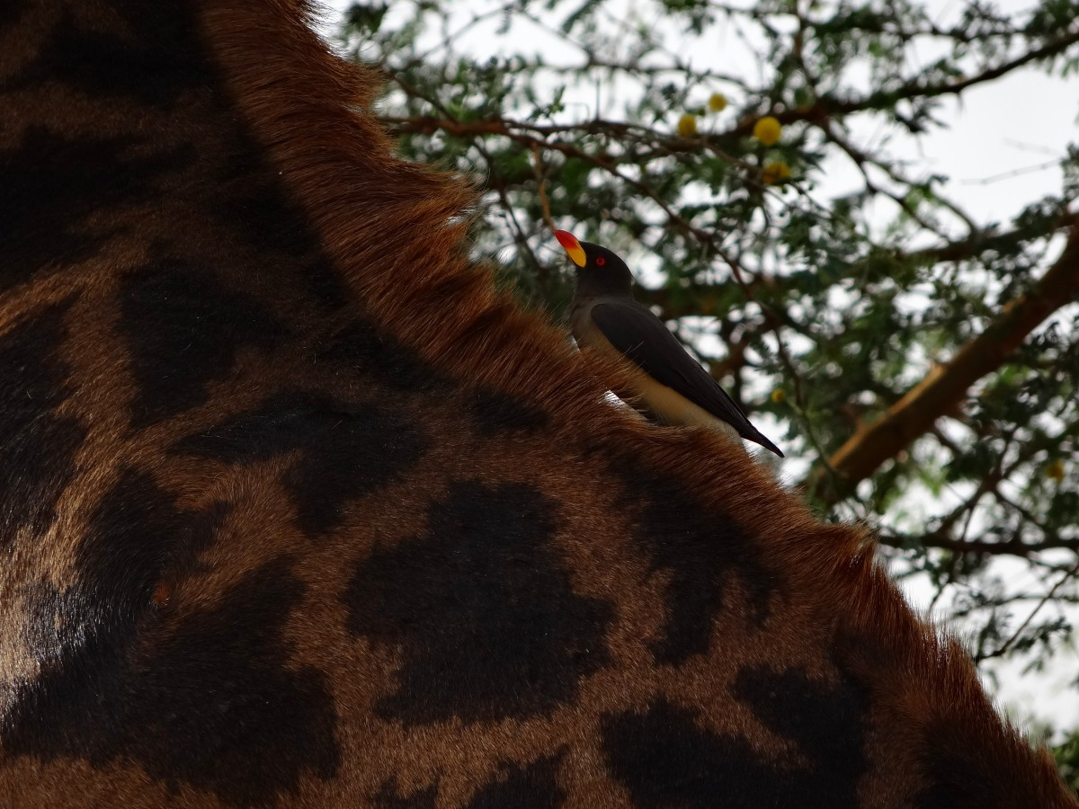 Zdjęcia: Rezerwat bandia, Senegal, Doskonała symbioza, SENEGAL