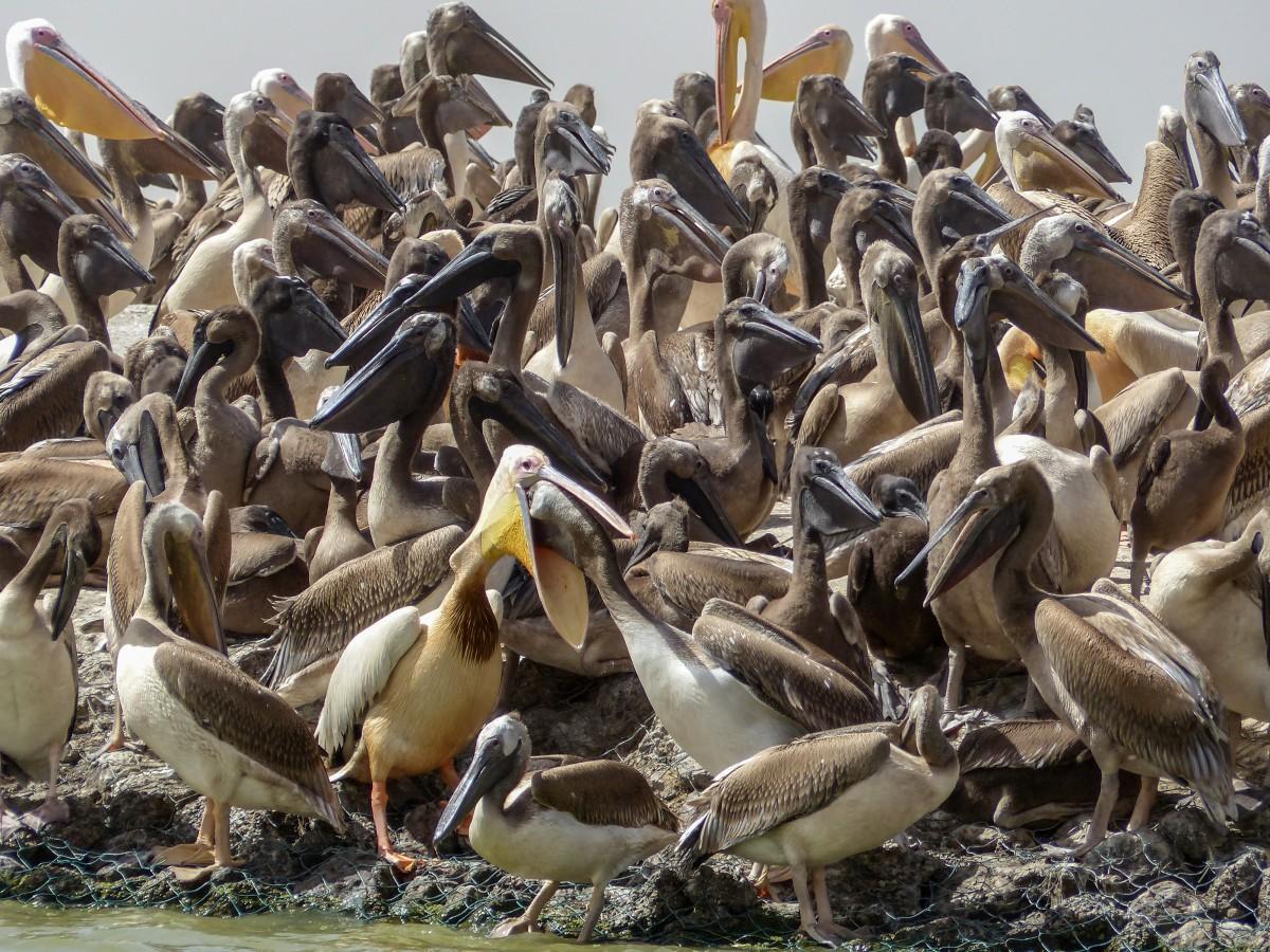 Zdjęcia:  Djoudj , młode pelikany, SENEGAL