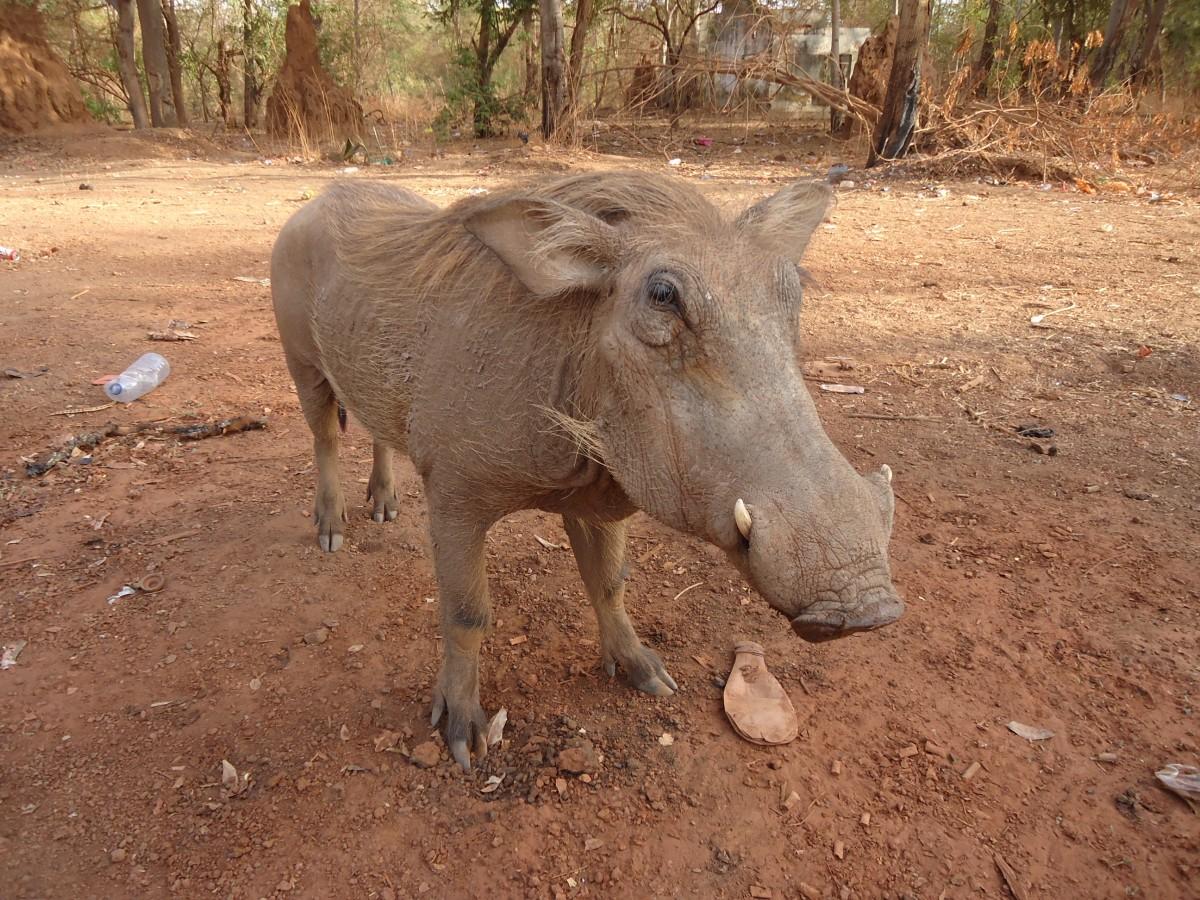 Zdjęcia: Park Narodowy Niokolo-Koba, Tambacounda, Pumba, SENEGAL