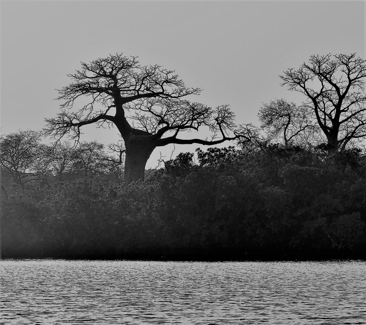 Zdjęcia: Wyspa Baobabów, Rozlewisko rzeki Saloum, Baobabki, SENEGAL