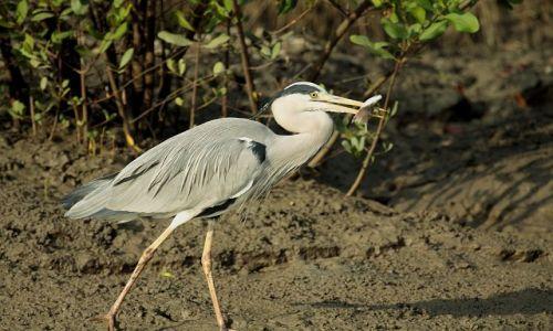 SENEGAL / - / Park Nikolo-Koba / czapla siwa zastanawia się zapewne,jak tę rybę zjeść