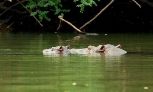SENEGAL / - / Park Nikolo-Koba / rodzinka hipopotamów