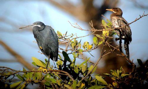 SENEGAL / - / Park Nikolo-Koba / czapla rafowa i kormoran egipski