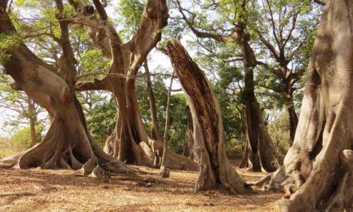 SENEGAL / Prowincja Casamance / Cap Skirring / Las kapokowy