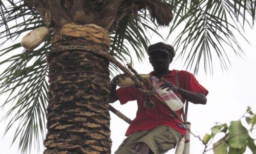 SENEGAL / Prowincja Casamance / Cap Skirring / Zbiór wina palmowego