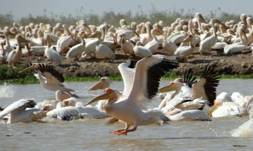 Zdjęcie SENEGAL / Północny Senegal / PN Djoudj / Lądowanie