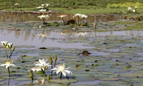 Zdjecie SENEGAL / Północny Senegal / PN Djoudj / Wodne kwiaty