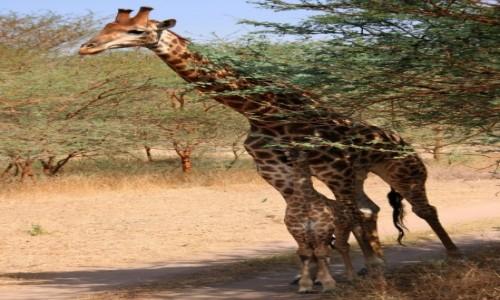 Zdjecie SENEGAL / Północny Senegal / Rezerwat Bandia / Z tatą najbezpieczniej