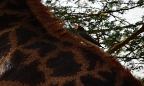 Zdjecie SENEGAL / Senegal / Rezerwat bandia / Doskonała symbioza