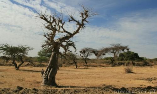 Zdjecie SENEGAL / Sahel / Sahel / Baobab