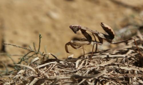 Zdjęcie SENEGAL / Sahel / Sahel / Modliszka
