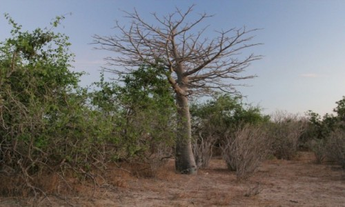 Zdjecie SENEGAL / Sahel / Sahel / Baobab o poranku