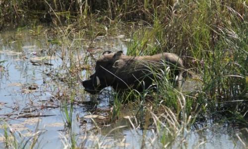 Zdjęcie SENEGAL / Sahel / Sahel / Świnka wodna