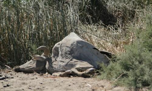 Zdjecie SENEGAL / Sahel / Sahel / Zebu