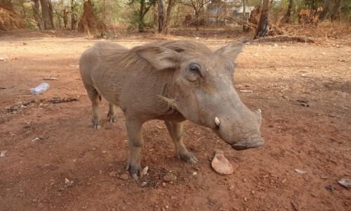 Zdjecie SENEGAL / Tambacounda / Park Narodowy Niokolo-Koba / Pumba