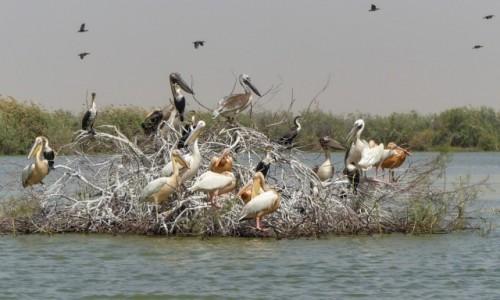 SENEGAL / - /  Djoudj  /  Wyspa pelikanów