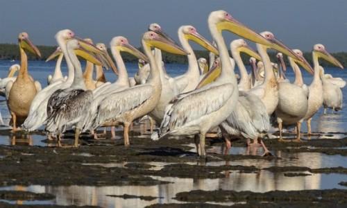 SENEGAL / Casamance / okolice Affiniam / Pelikan biały