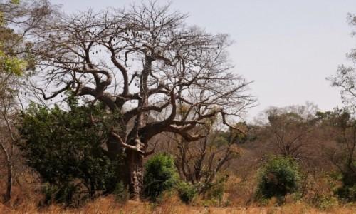 Zdjecie SENEGAL / Południowo-wschodnia część Senegalu / wioska Bedik / Duża liczba baobabów czyni krajobraz Senegalu wyjątkowym