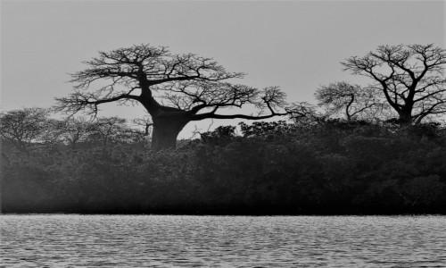 Zdjęcie SENEGAL / Rozlewisko rzeki Saloum / Wyspa Baobabów / Baobabki