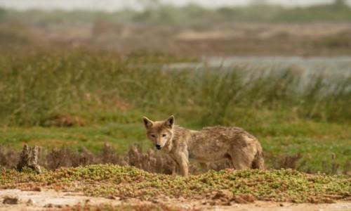 Zdjecie SENEGAL / Pólnocny Zachód / Parc national des oiseaux du Djoudj / Poranek Kojota 😁