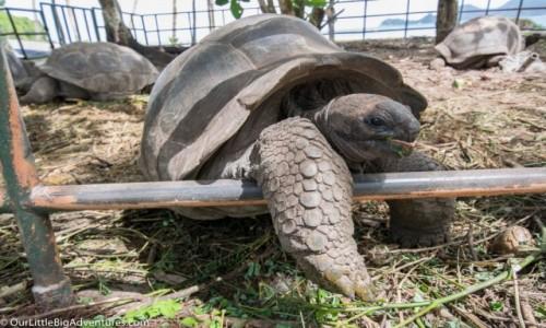 Zdjecie SESZELE / Mahe / Anse Takamaka / Żółwie olbrzymie