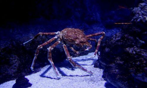 SINGAPUR / Sentosa Island / Underwater World / Gigantyczny Krab