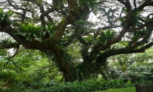 Zdjecie SINGAPUR / - / park miejski / Tropikalne drze