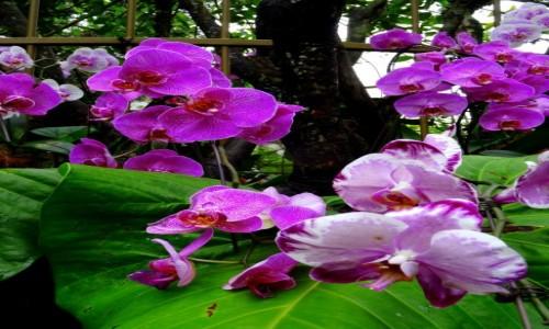 Zdjecie SINGAPUR / Singapur / Ogród Botaniczny / Storczyków czar