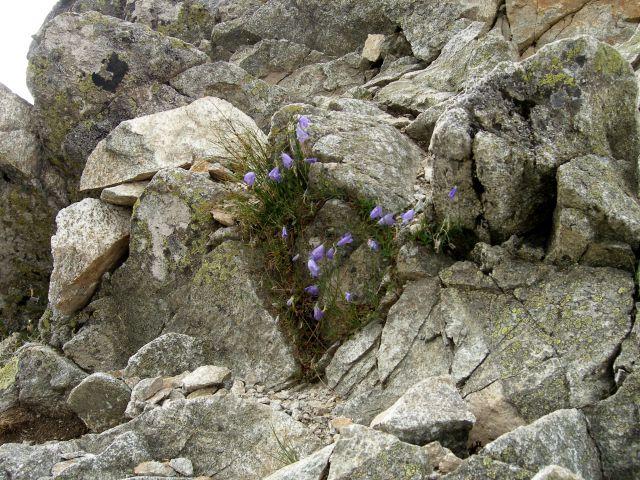 Zdjęcia: Przełęcz Spalona, -Tatry Zachodnie, Bukiet w skalach, SłOWACJA