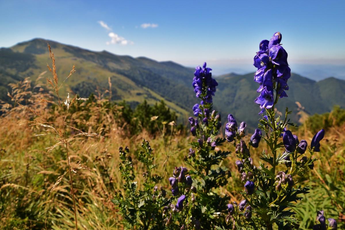 Zdjęcia: Południowy Groń, Mała Fatra, Małofatrzańska flora I, SłOWACJA