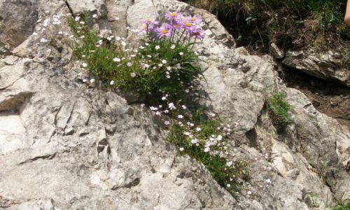 Zdjęcie SłOWACJA / Karpaty Zachodnie / Mała Fatra / Kwiaty w skałach