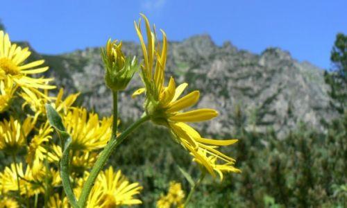 Zdjęcie SłOWACJA / Tatry / Strbskie Pleso / kwiaty w Tatrach